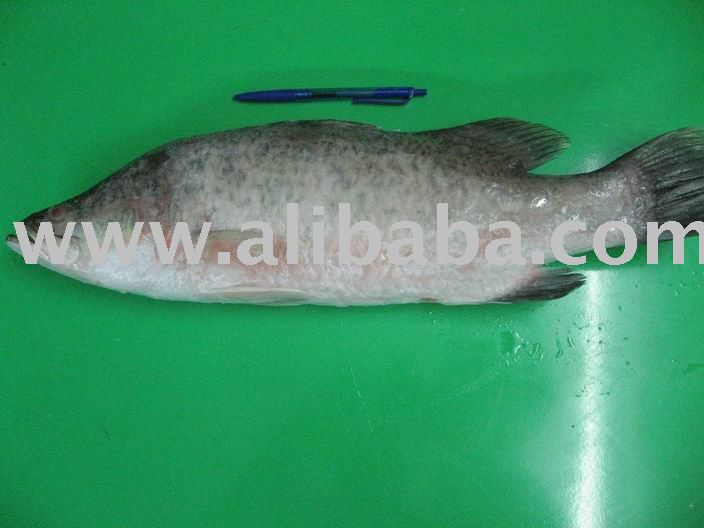 Frozen Whole Cleaned Barramundi fish-gutted-scale off-gills off-Asian Seabass-Lates calcarifer