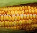 Yellow Corn, Grade 2