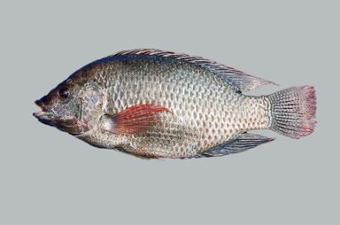 Frozen Fresh Water Fish Tilapia