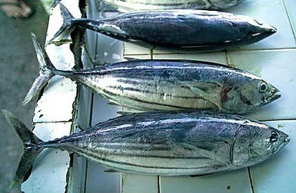 Yellow fin Tuna, Blue fin Tuna, Frozen Skipkjack Tuna, Frozen Bonito Tuna for sale