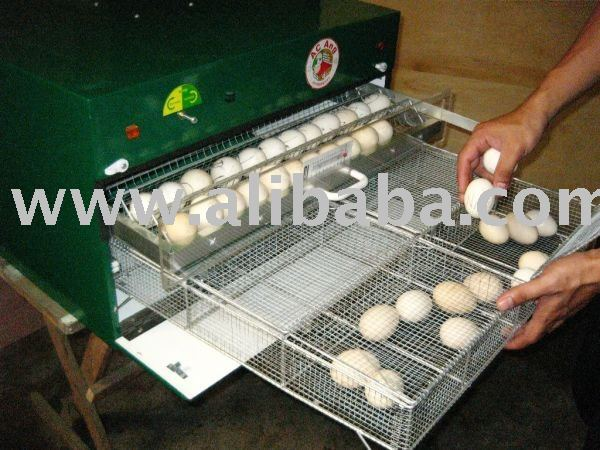 Fertile Parrots Eggs for sale.