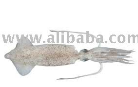 Loligo Squid (Loligo opalescens)