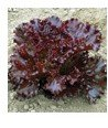 Clark Valley Organic Farm Red Leaf Lettuce