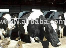 Healthy and quality Friesian cattles available.