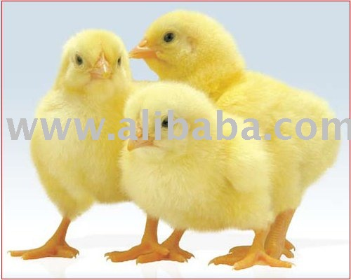 Broiler Chicks (Day Old Cobb Broiler Chicks)