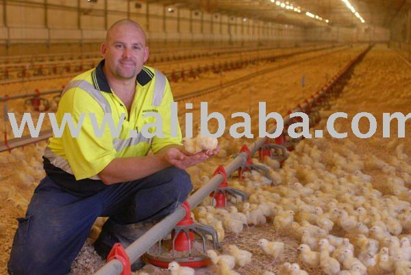 Grade A Health Day Old Broilers