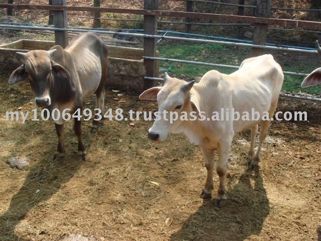 Eksport Cattle from Thailand