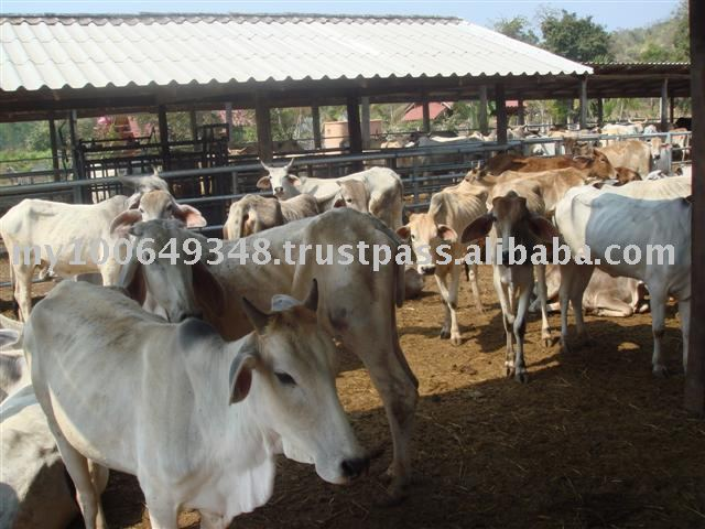 Asia Cattle from Thailand