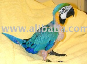 Fresh and fertile parrots and eggs for sale