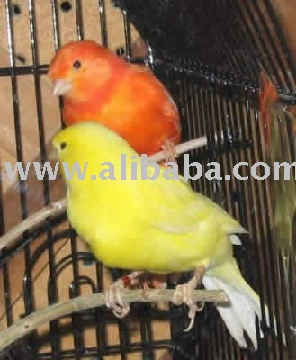 Canary Birds and Fertile Eggs
