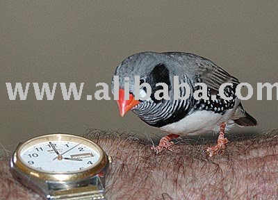 Black Cheek ZebraFinch