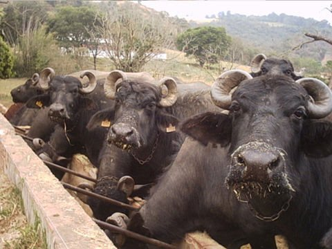 buffaloes for milk and buffaloes for meat