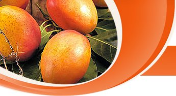 Export Quality Mango