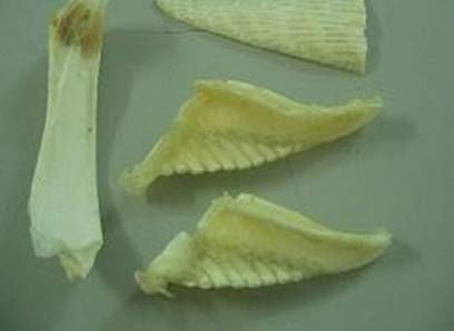 DRIED SHARK BONE