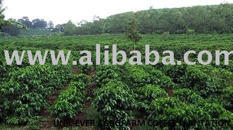 COFFEE BEAN (OUR COFFEE PLANTATION)