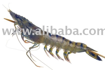 Frozen Shrimp IQF (Headless BT, PD To) 21 / 25