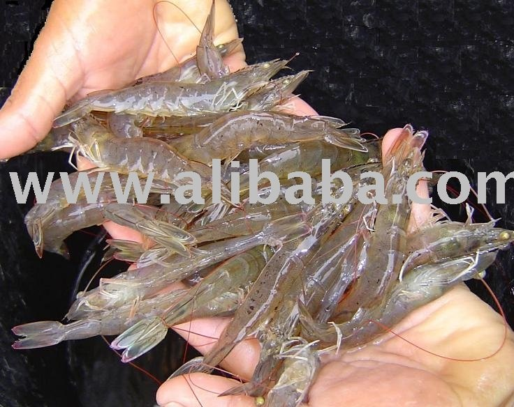 White Shrimp (Farmed Vannamei)