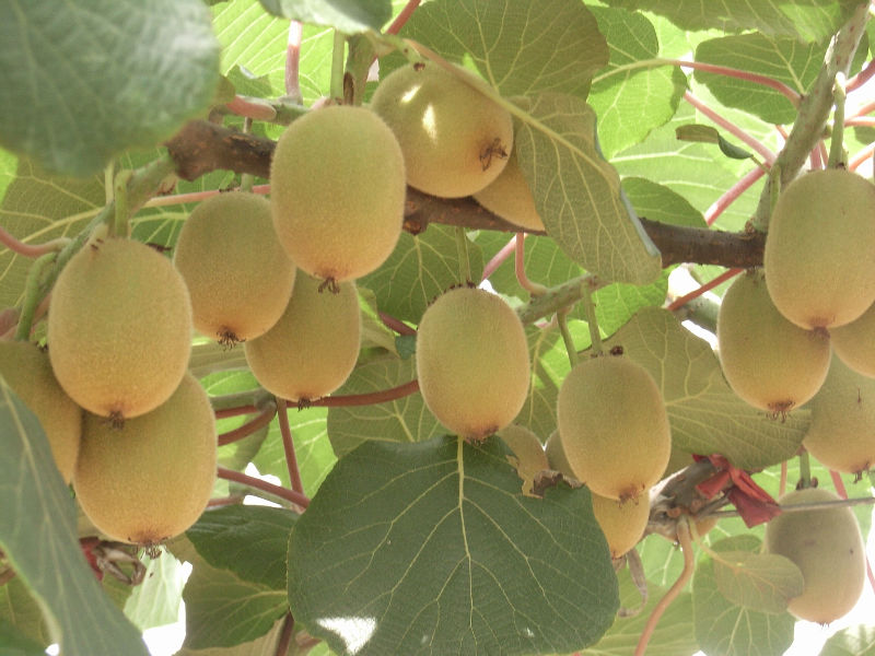 Chinese Kiwi Fruit Products China Chinese Kiwi Fruit Supplier