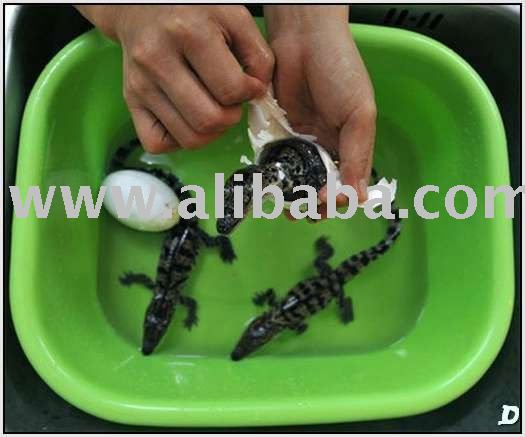 Fertile & DNA Proven Crocodile Eggs For Sale