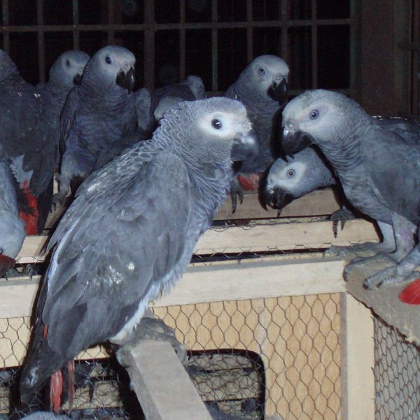 African Gray Parrots African Gray And Other Parrots