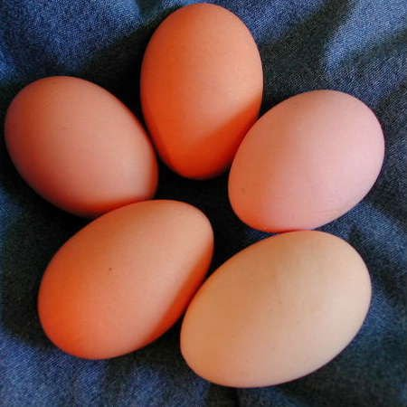 Fertile broiler eggs for sale south africa