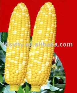 Colorful hybrid corn seed