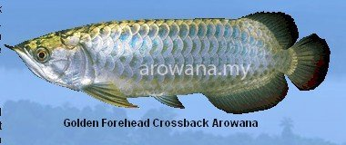 Golden Forehead Crossback Arowana Fish