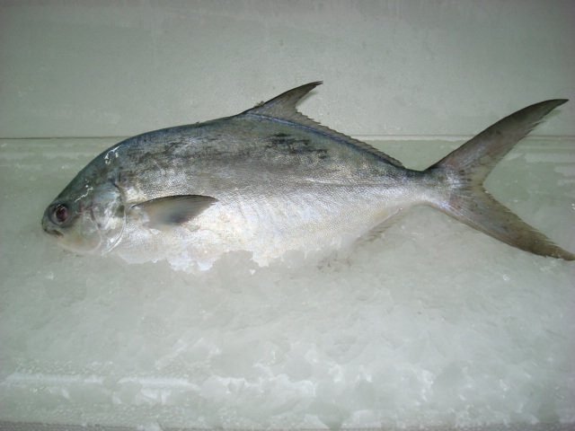Golden pompano trachinotus blochii fish products china for Picture of pompano fish