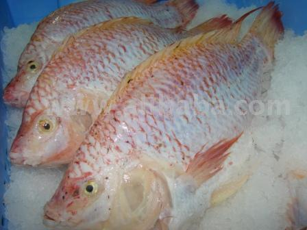 Frozen Tilapia Fillets And Whole Fish