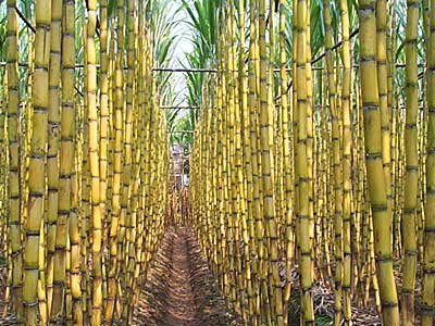 Raw Sugar Cane  for sale