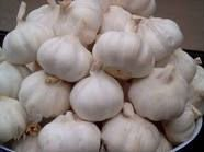 Common Yield Garlic   Bulk Garlic