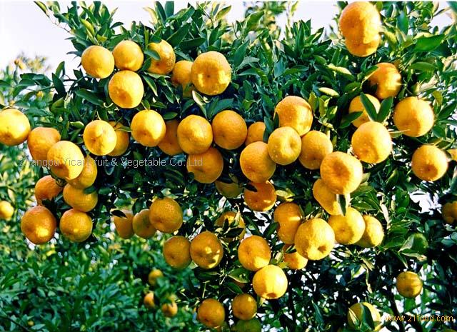 Chinese mandarin Citrus fruits