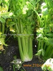 Celery Extract Powder