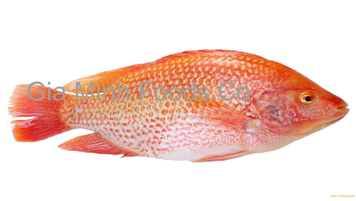 Red tilapia wggs products vietnam red tilapia for Is tilapia fish good for you