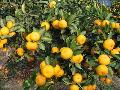 Nanfeng orange