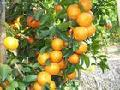 fresh and sweet shatang orange