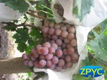 China fresh grapes
