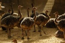 Ostrich chicks and fertilized hatching eggs