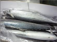 frozen spanish mackerel whole round ( scomberomorus niphonius )
