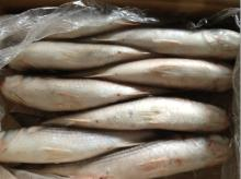 Frozen gray mullet whole round