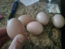 Fertilized Bird Eggs