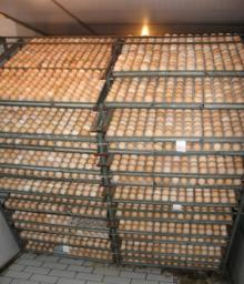 chicken eggs,bantam chicken eggs, duck eggs, turkey eggs, guinea, quail eggs, pheasant eggs,chukar p