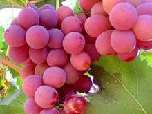 Red global grape