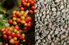 Green Arabica and Robusta Coffee Beans