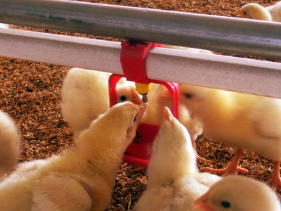 Automatic Poultry Equipment Of Poultry Drinking System For
