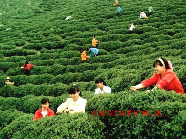 Xinyang China  city images : China Tea XinYang Maojian Tea products,China China Tea XinYang Maojian ...