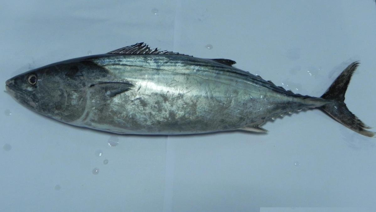 Eastern little tuna - photo#2
