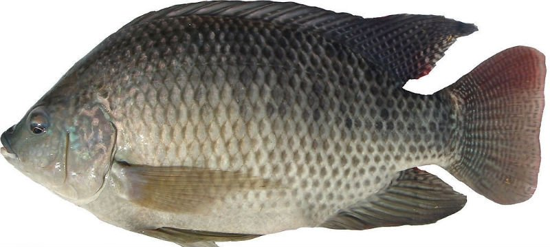 China tilapia fish farmer products china china tilapia for Is tilapia a healthy fish