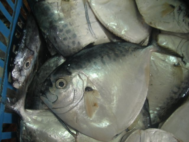 Moon fish products china moon fish supplier for Opah fish price