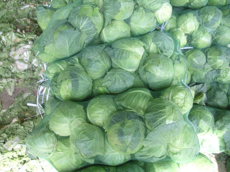agri sba cabbage production essay Crop production national agricultural statistics service nass this is an archive and email subscription service for reports issued by nass the official website is wwwnassusdagov with other data services.